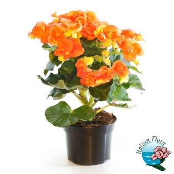 Frasi auguri pensione biglietti frasi di auguri per for Begonia pianta