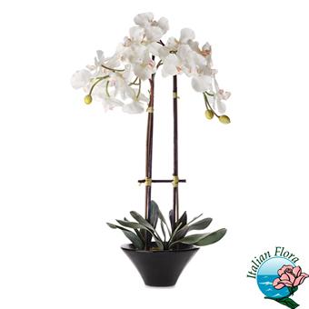 Phalaenopsis bianca raffinata. Consegna in Italia.