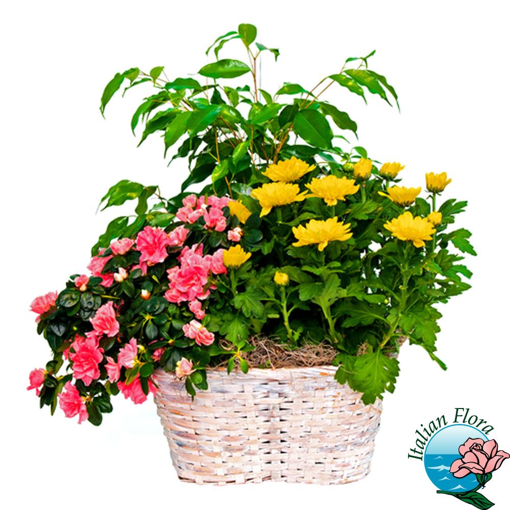 Composizione di piante for Piante di cedro vendita