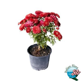 Pianta di crisantemo rosso raffinata. Consegna in Italia.
