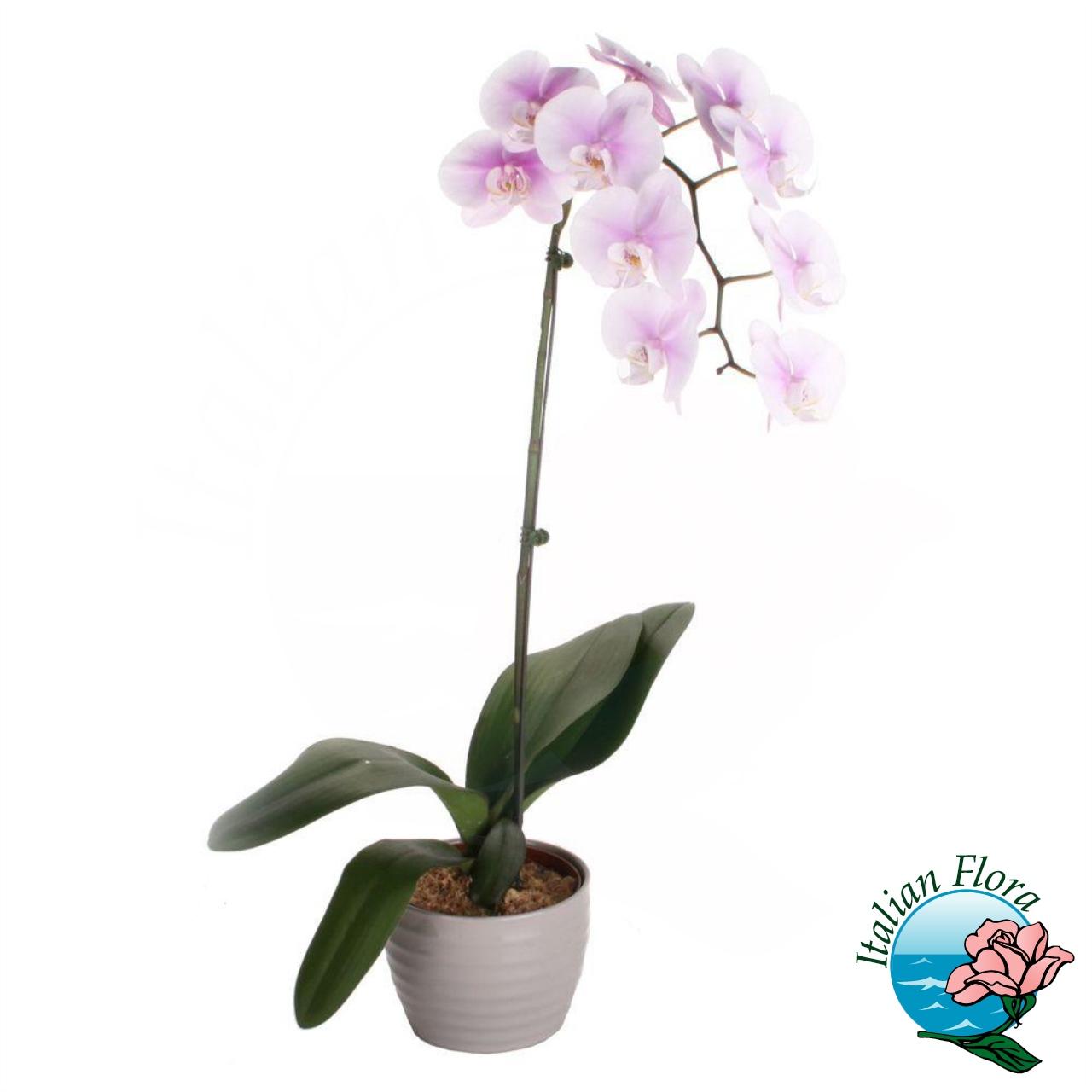 Piante Da Regalare A Pasqua pianta di orchidea bianca sfumata