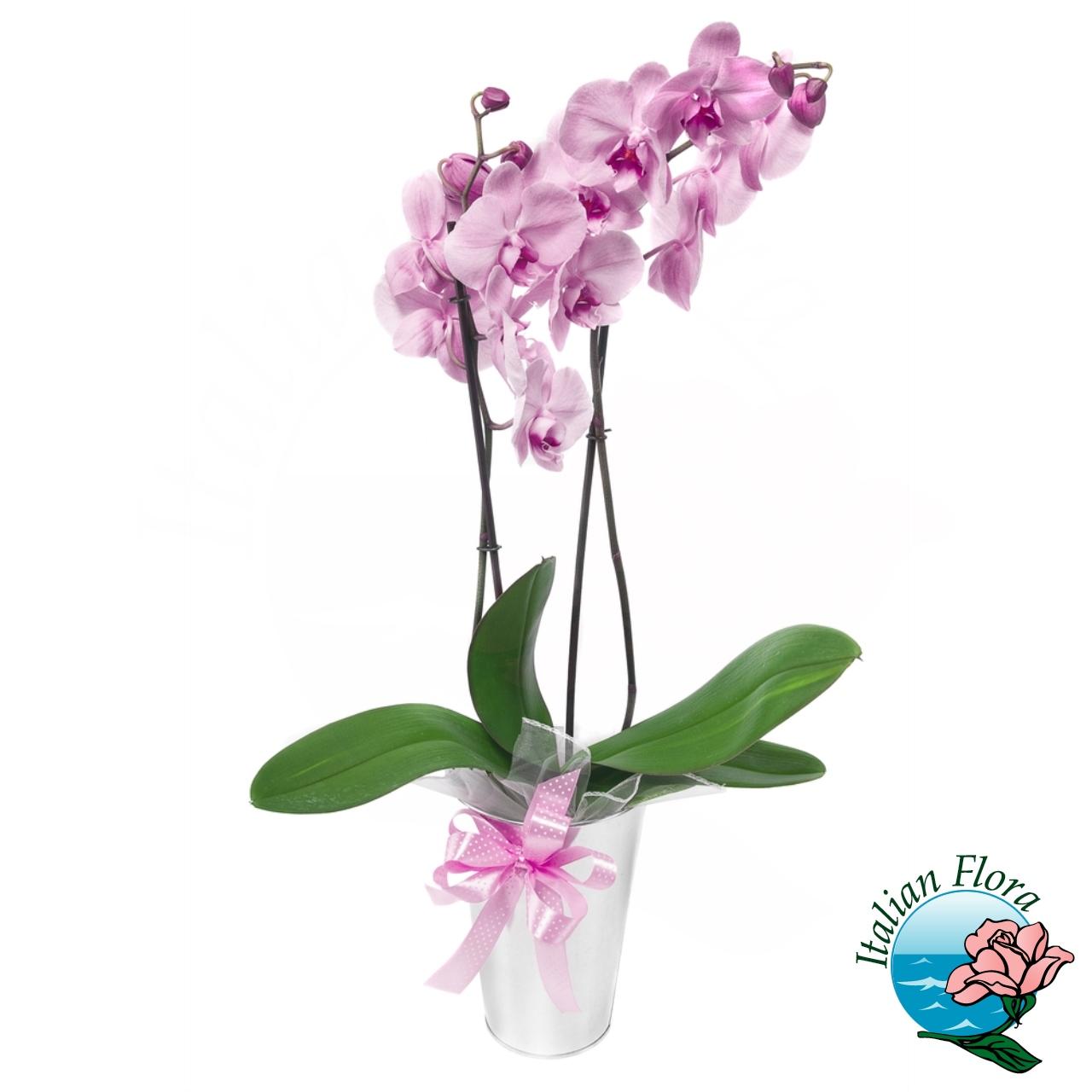 Piante Da Regalare A Pasqua pianta di orchidea phalaenopsis rosa