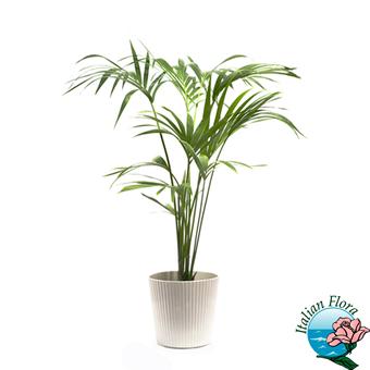 Vendita piante online da negozio a domicilio prezzi bassi - Pianta da ufficio ...